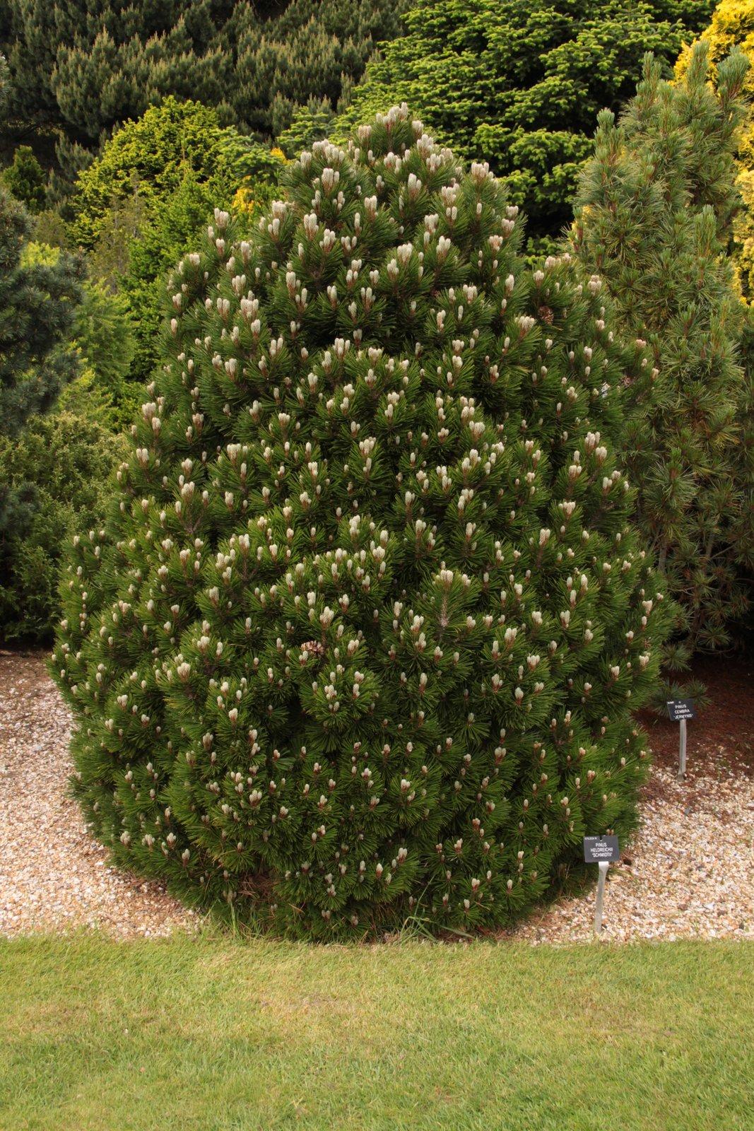 Bosnian pine 'Smidtii'