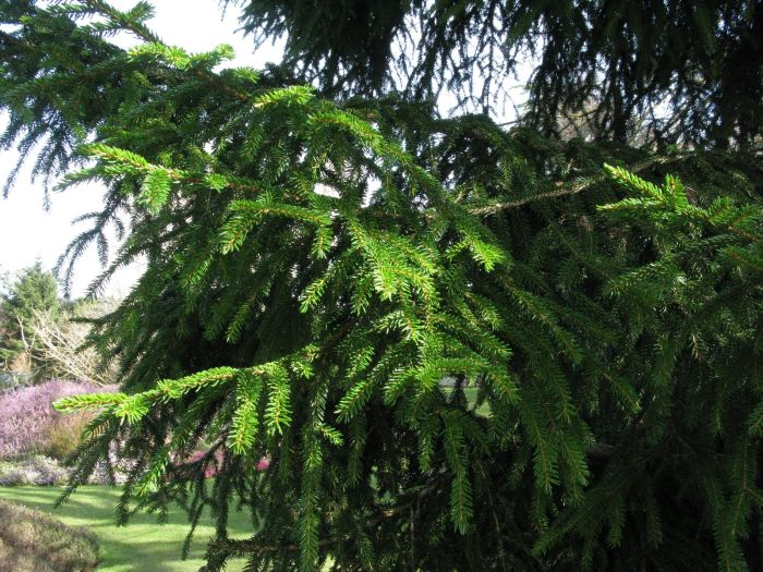 oriental spruce 'Skylands'