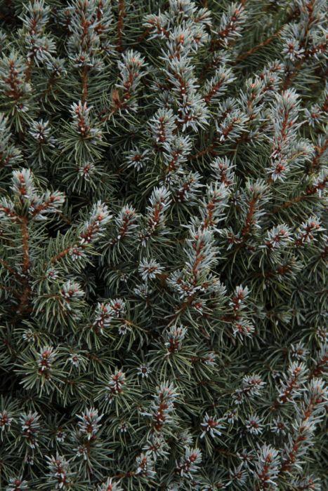 white spruce 'Arneson's Blue Variegated'