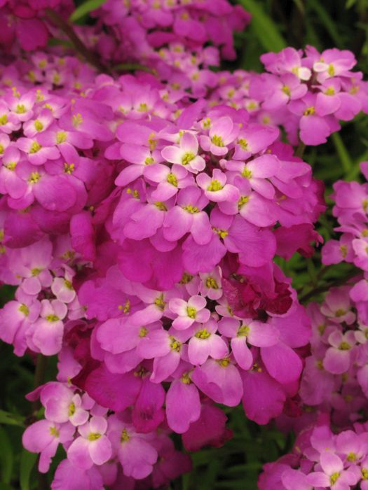 common candytuft