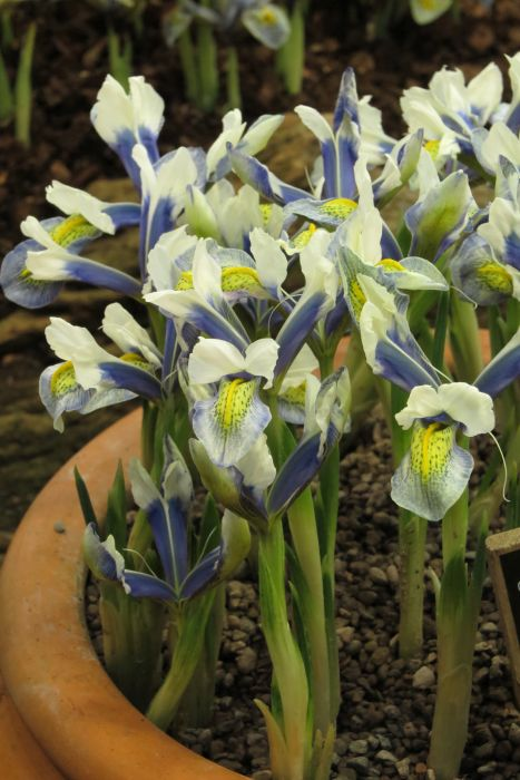 iris 'Sea Breeze'