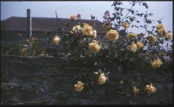 rose 'Climbing Lady Hillingdon'