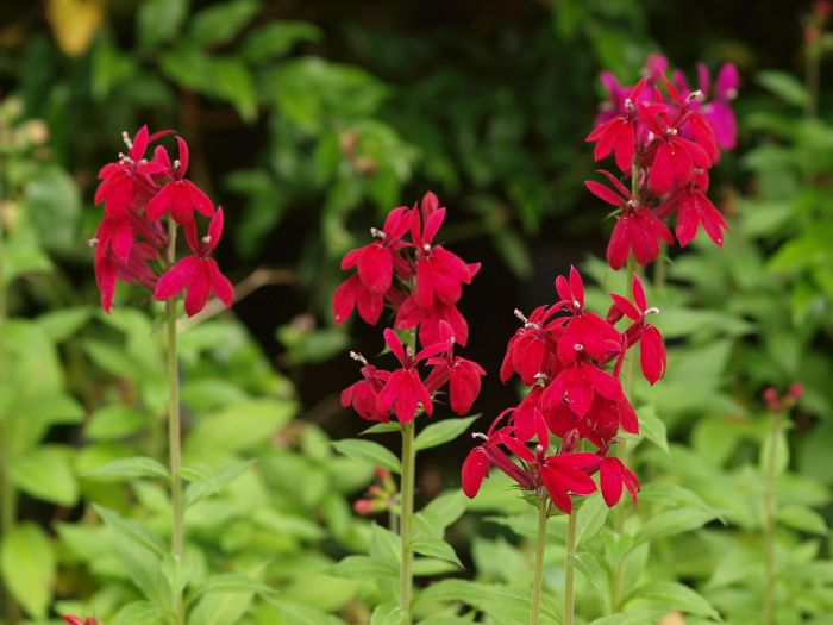 Lobelia X Speciosa Rhs Gardening