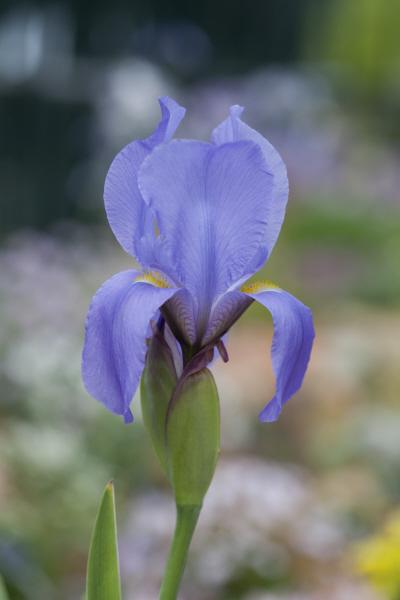 aril iris