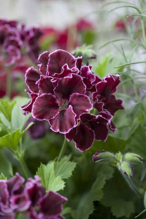 pelargonium 'South American Bronze'