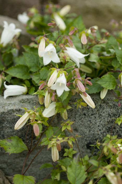 birch-leaved bellflower