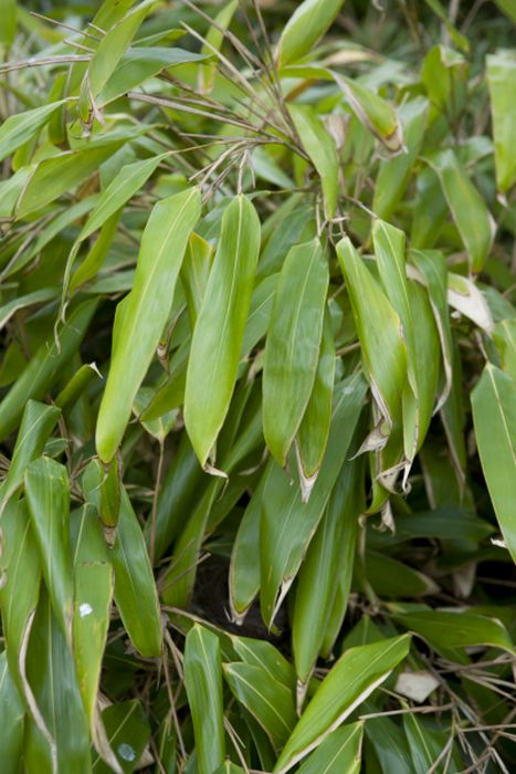 large-leaved bamboo