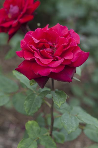 rose 'Deep Secret'