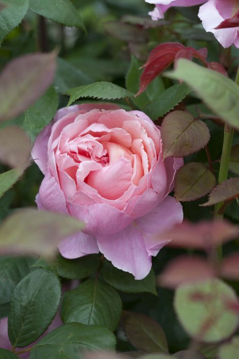rosa [Brother Cadfael]