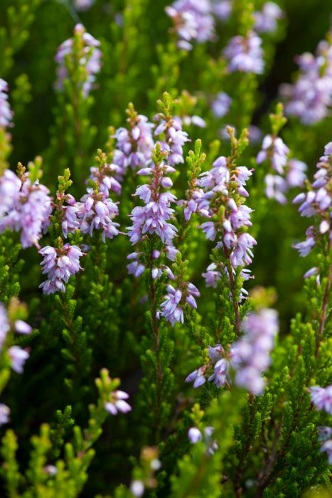 heather 'Glenfiddich'