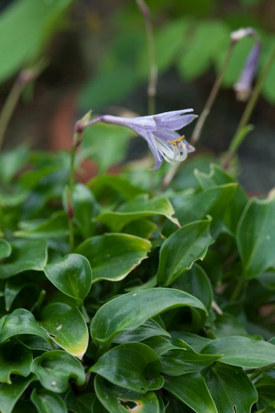 plantain lily 'Shining Tot'