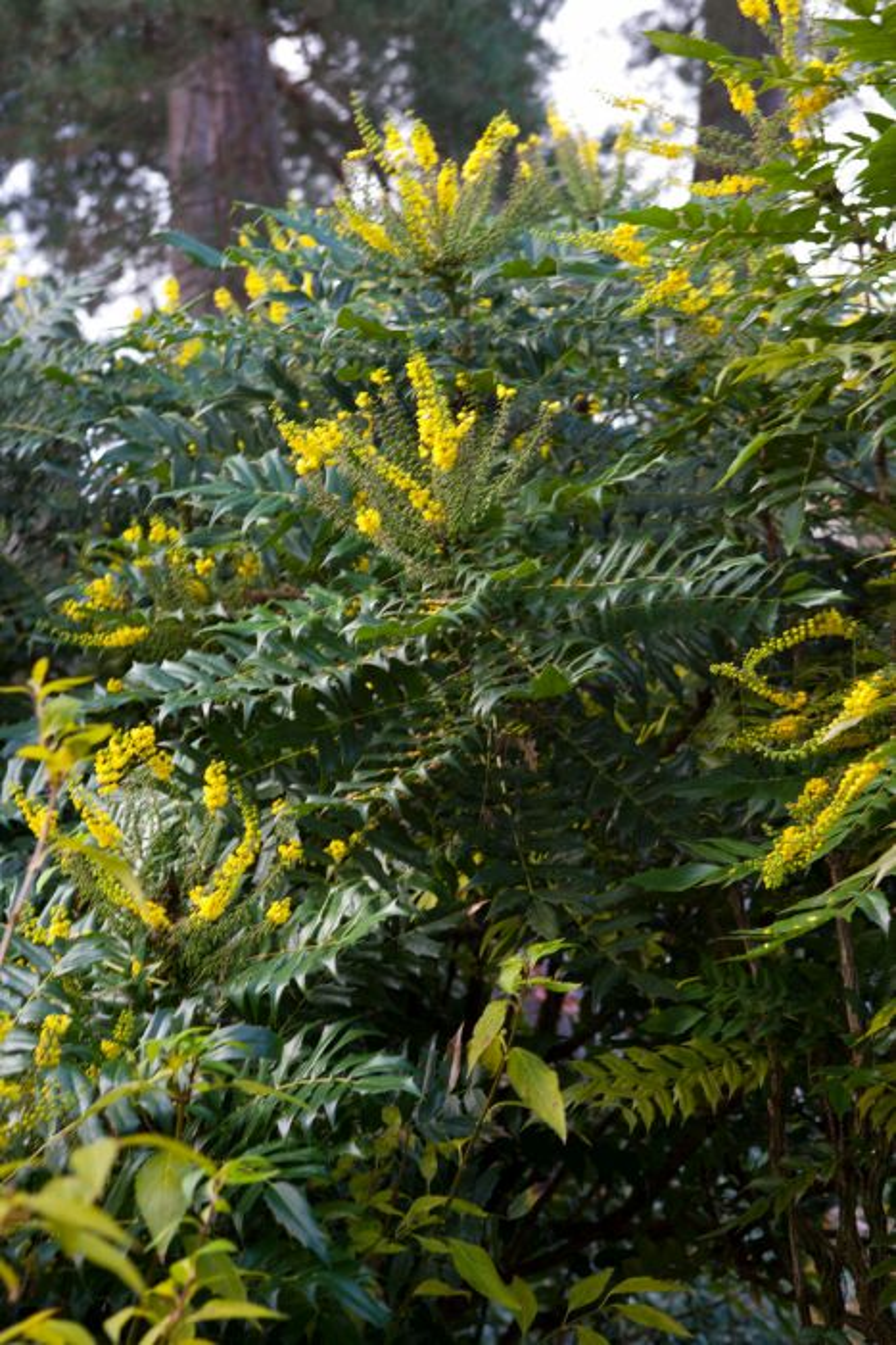 Rhs advice tips on garden indoor plants plant finder mahonia media mightylinksfo