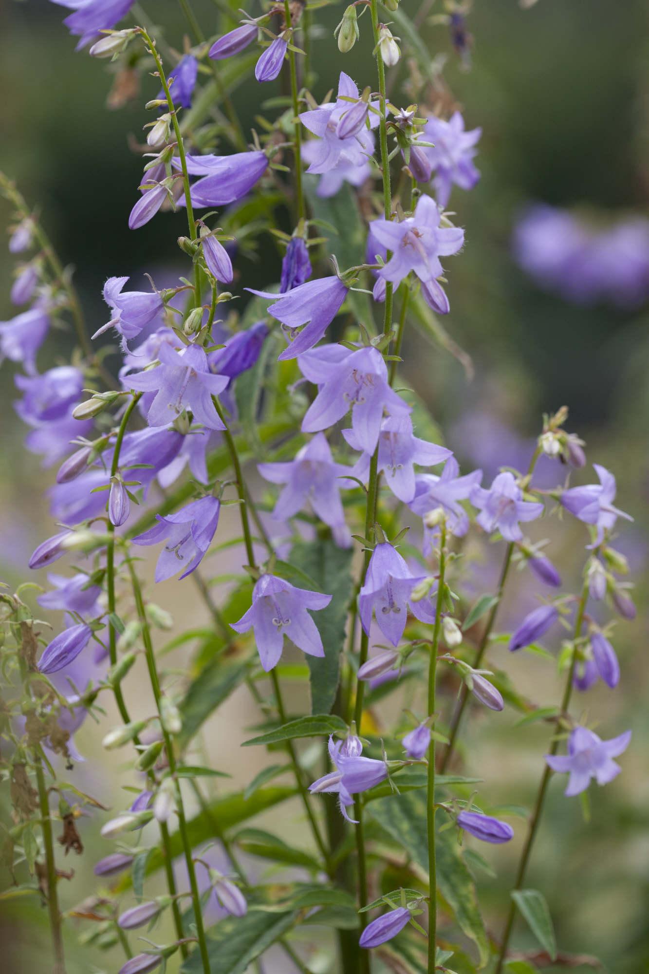 bellflower 'Misty Dawn'
