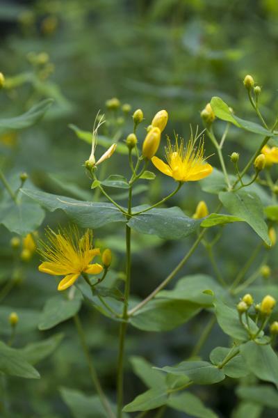 <i>Hypericum hircinum</i>