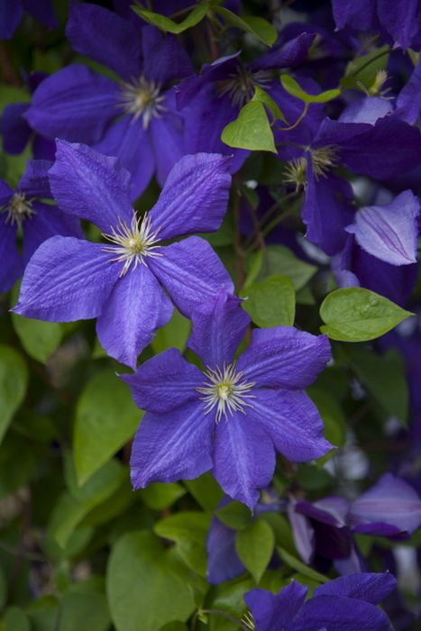 clematis 39 jackmanii superba 39 cripps ll clematis 39 jackmanii superba 39 rhs gardening. Black Bedroom Furniture Sets. Home Design Ideas