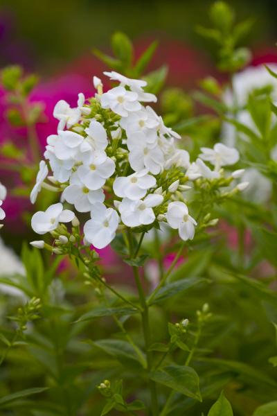 perennial phlox 'Alba Grandiflora'