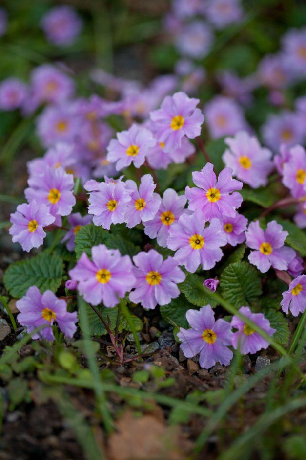 primrose 'Iris Mainwaring'
