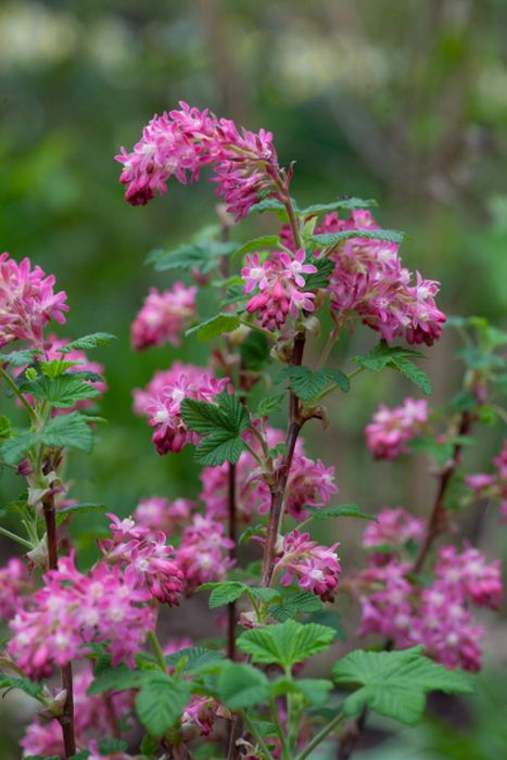 flowering currant 'Koja'