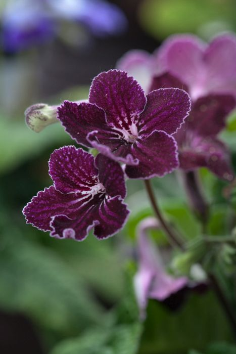 Cape primrose 'Burgundy Ice'