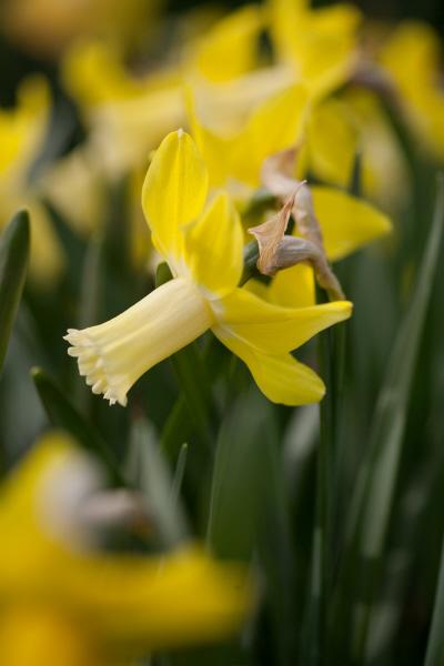 daffodil 'Wheatear'