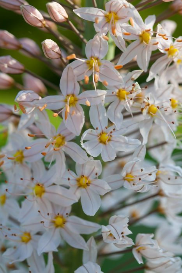 foxtail lily 'Joanna'