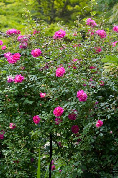 rose 'Alexandre Girault'