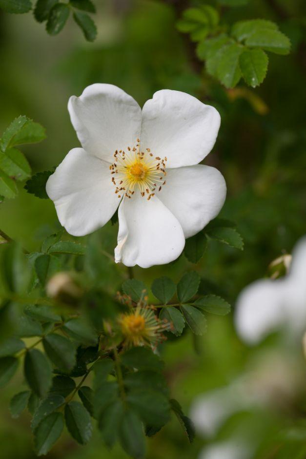 Scotch rose