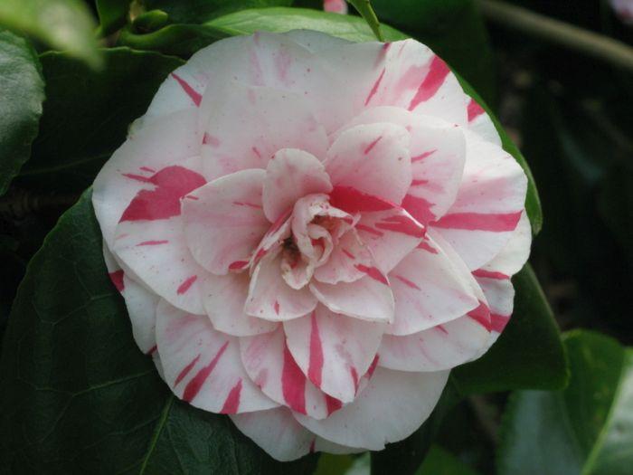 camellia 'Lavinia Maggi'