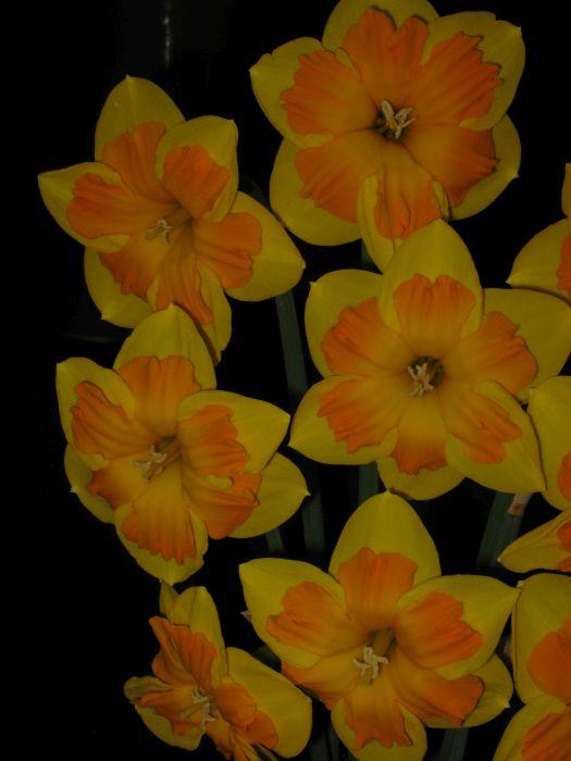 daffodil 'Boslowick'