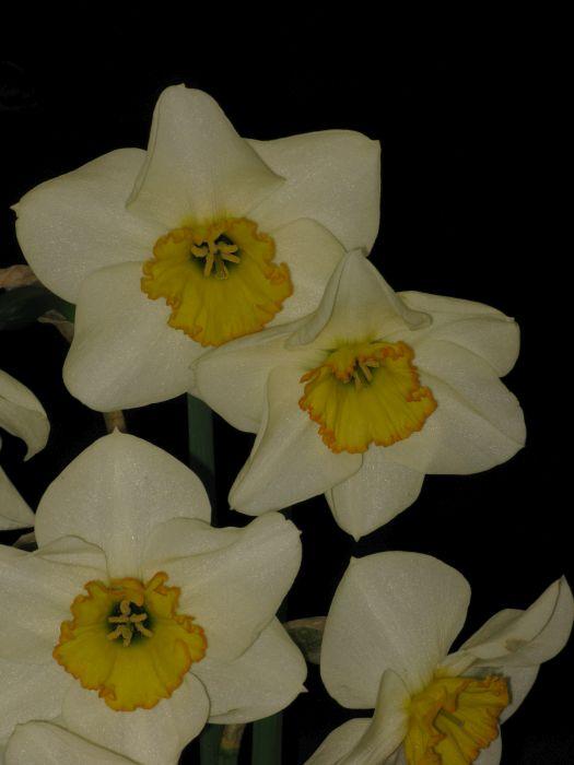 daffodil 'Vernal Prince'