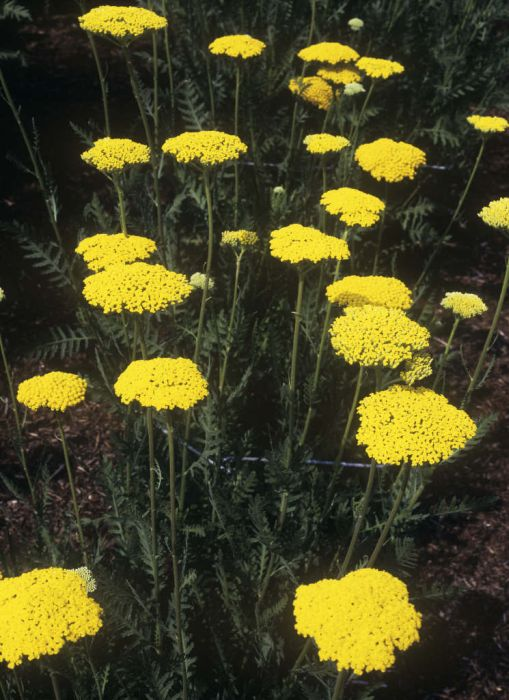 yarrow 'Gold Plate'
