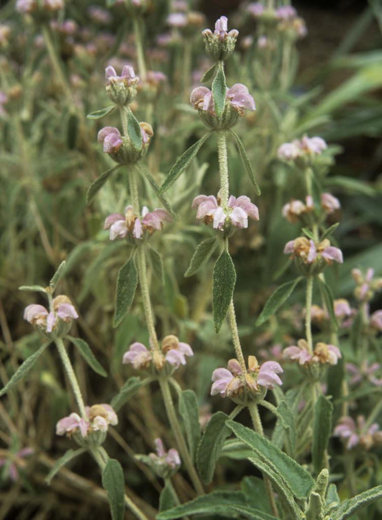 Phlomis italica
