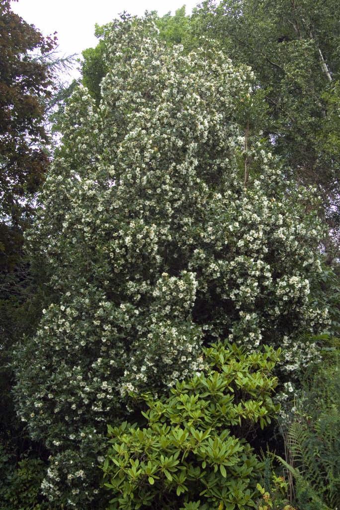 Nyman's hybrid eucryphia 'Nymansay'