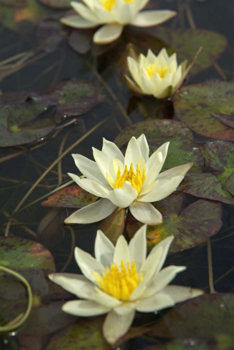 waterlily 'Pygmaea Helvola'