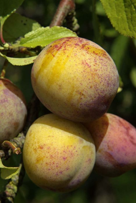 plum 'Jefferson'