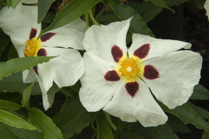 spotted white rockrose