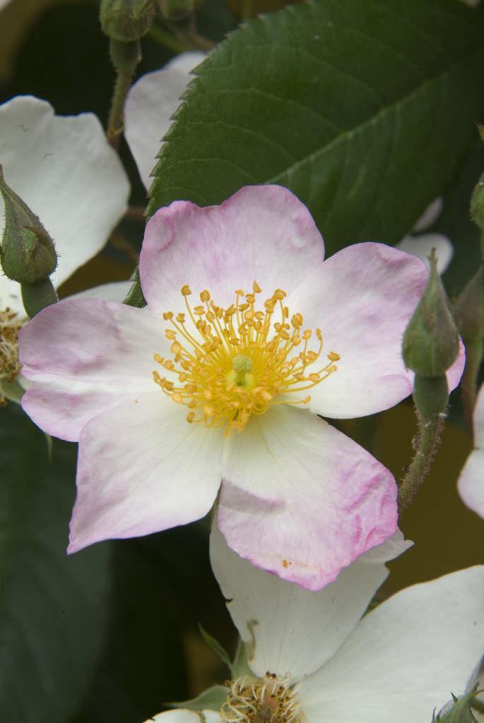 rose 'Francis E. Lester'