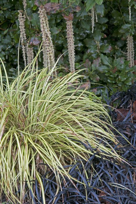 Japanese sedge 'Evergold'
