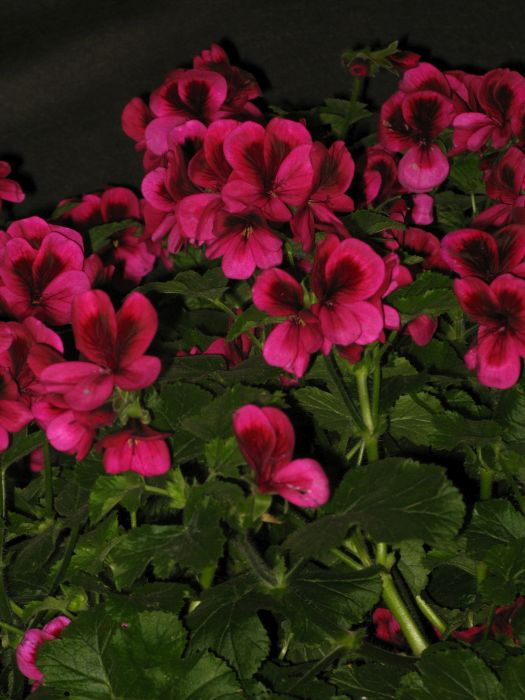 <i>Pelargonium</i> 'Ashby' (Dec/sc)