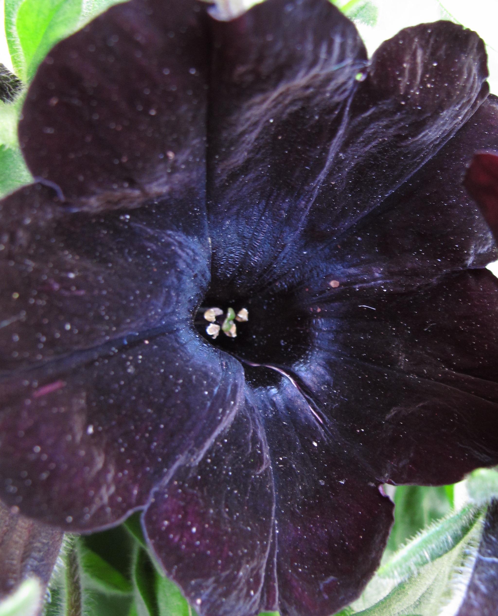 petunia [Black Satin]