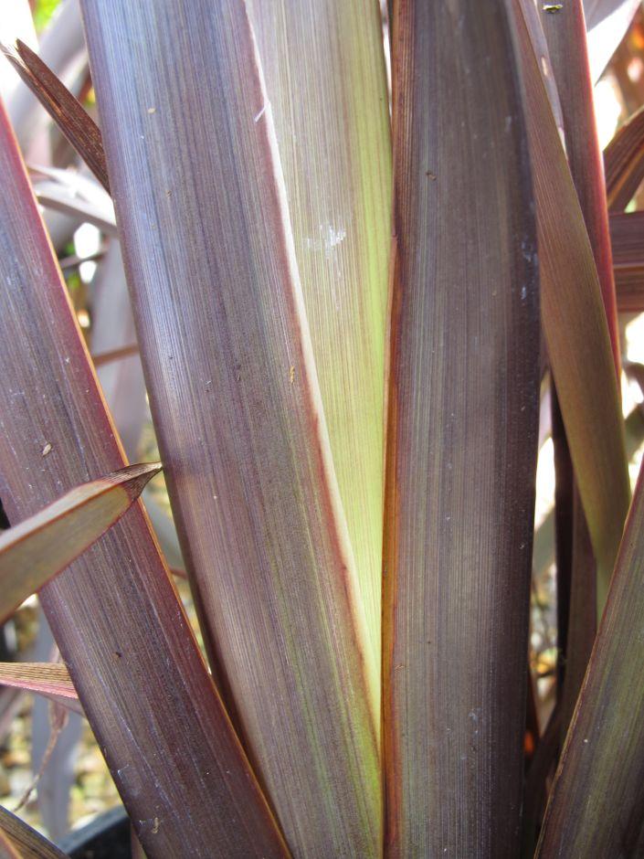 flax lily [Black Velvet]