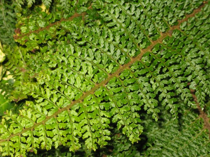 soft shield fern 'Herrenhausen'