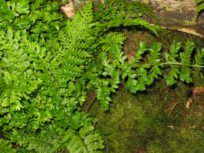 soft shield fern Divisilobum Group