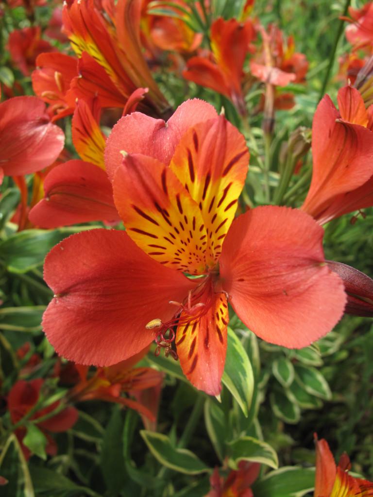 Peruvian lily 'Spitfire'