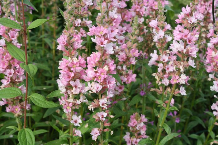 purple loosestrife 'Blush'