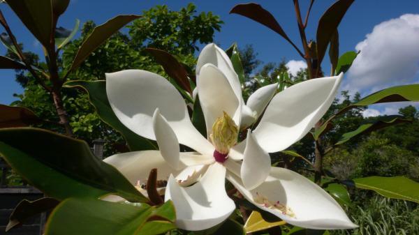evergreen magnolia 'Kay Parris'
