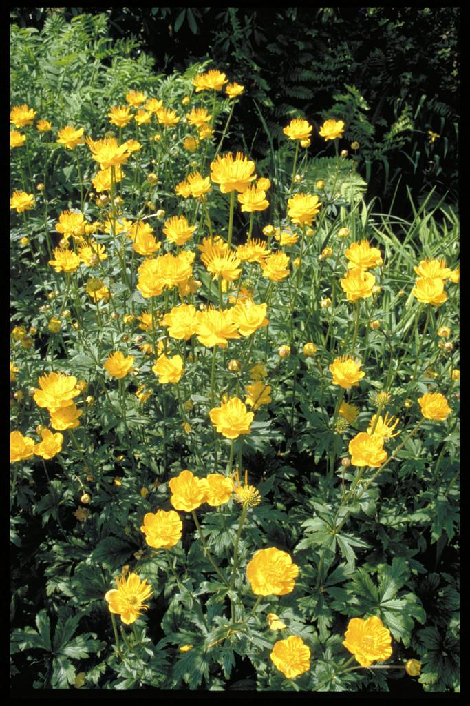 Chinese globeflower