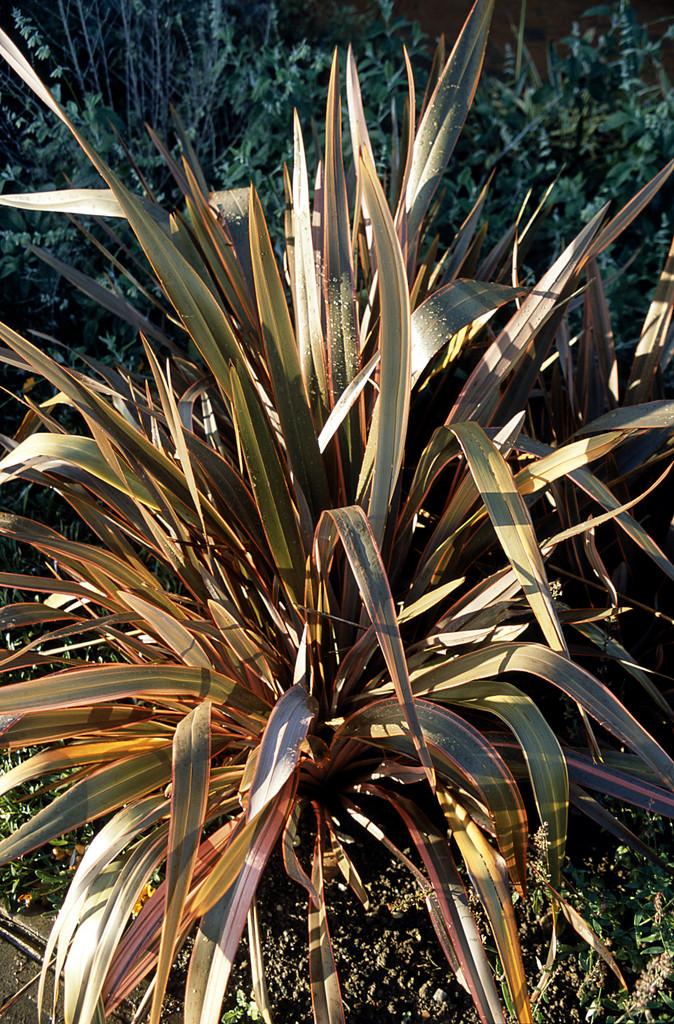 flax lily 'Maori Queen'
