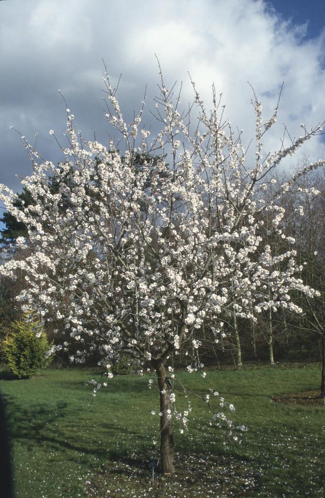 almond 'Macrocarpa'