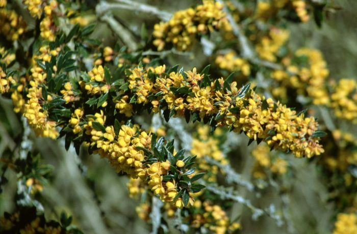 Lolog's barberry